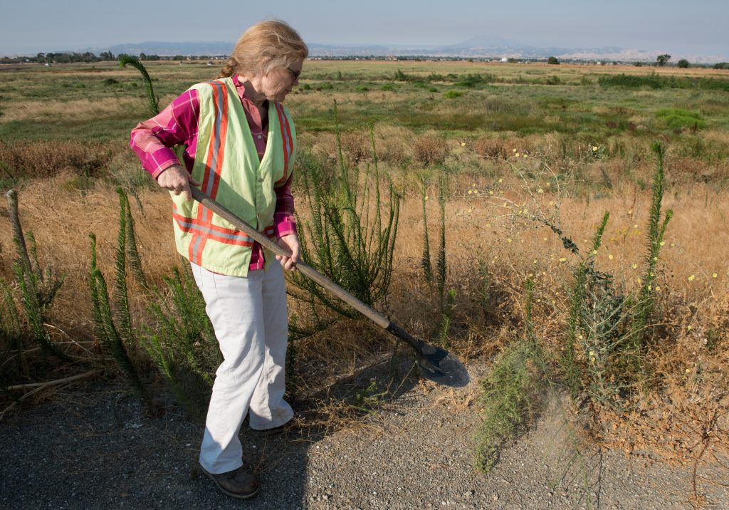 Project Manager Patty Finfrock, for the Dutch Slough Tidal Marsh Restoration Project examines the site where 1,187 acres in the Sacramento-San Joaquin Delta are being restored into a tidal marsh to provide habitat for salmon and other native fish and wildlife. (Photo courtesy of the CA Department of Water Resources)